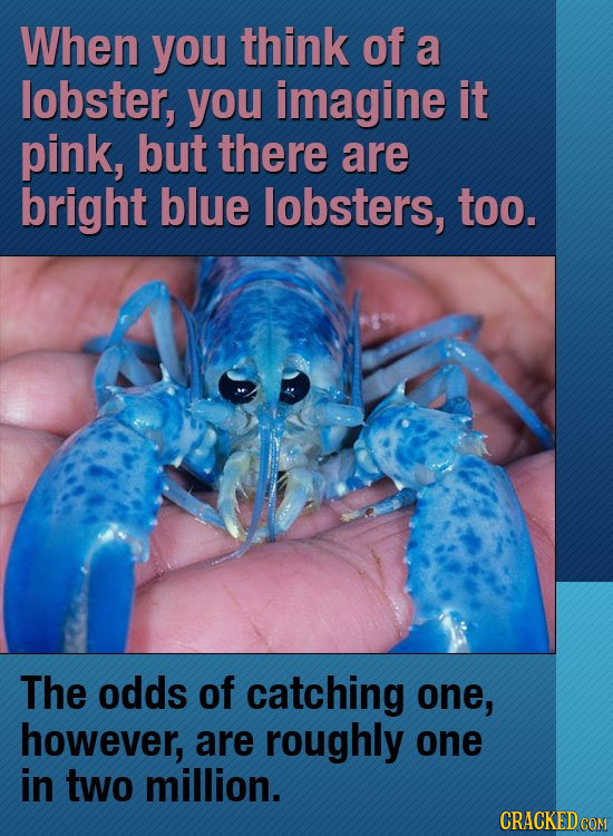 When you think of a lobster, you imagine it pink, but there are bright blue lobsters, too. The odds of catching one, however, are roughly one in two m