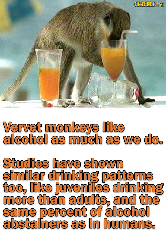 CRACKEDCO Vervet monkeys like alcohol as much as we do. Studies have shown similar drinking patterns too, like juveniles drinking more than adults, an