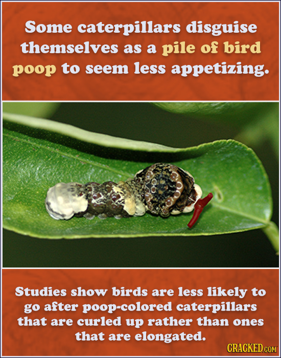 Some caterpillars disguise themselves as a pile of bird poop to seem less appetizing. Studies show birds are less likely to go after poop-colored cate