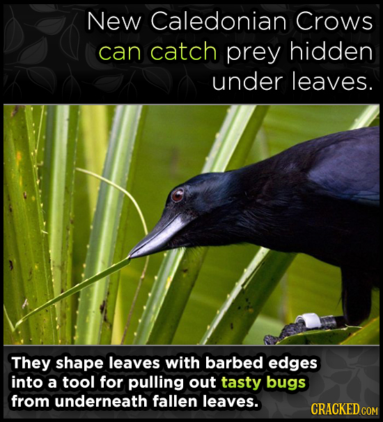 New Caledonian Crows can catch prey hidden under leaves. They shape leaves with barbed edges into a tool for pulling out tasty bugs from underneath fa