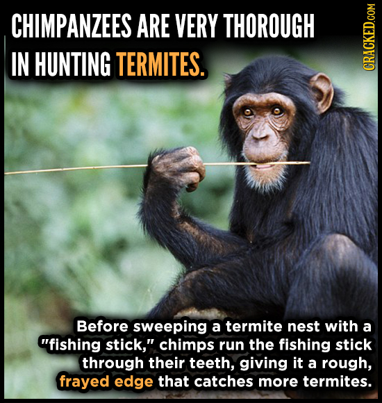 CHIMPANZEES ARE VERY THOROUGH IN HUNTING TERMITES. CRACKED.COM Before sweeping a termite nest with a fishing stick, chimps run the fishing stick thr
