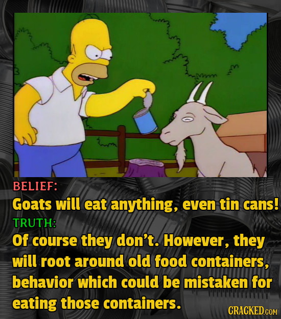BELIEF: Goats will eat anything, even tin cans! TRUTH: Of course they don't. However, they will root around old food containers, behavior which could