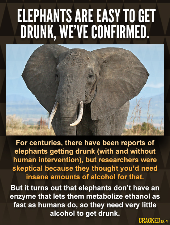 ELEPHANTS ARE EASY TO GET DRUNK, WE'VE CONFIRMED. For centuries, there have been reports of elephants getting drunk (with and without human interventi