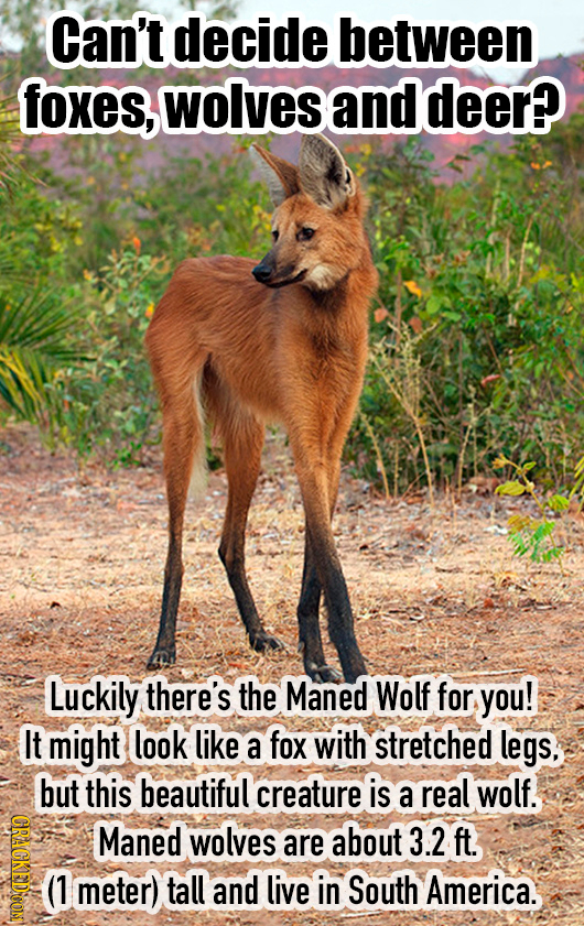 Can't decide between foxes, wolves and deer? Luckily there's the Maned Wolf for you! It might look like a fox with stretched legs, but this beautiful
