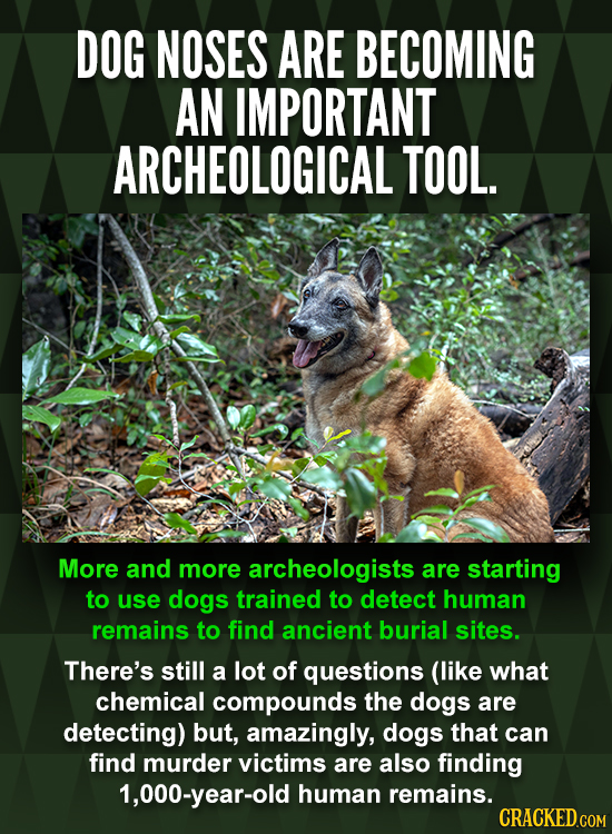 DOG NOSES ARE BECOMING AN IMPORTANT ARCHEOLOGICAL TOOL. More and more archeologists are starting to use dogs trained to detect human remains to find a