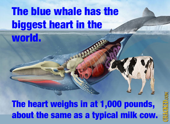 The blue whale has the biggest heart in the world. The heart weighs in at 1, .000 pounds, about the same as a typical milk CoW. CRACK