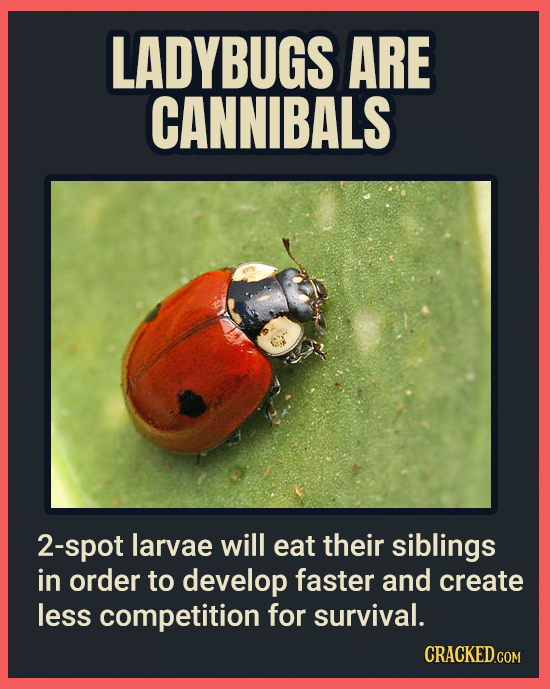 LADYBUGS ARE CANNIBALS 2-spot larvae will eat their siblings in order to develop faster and create less competition for survival. CRACKEDCON