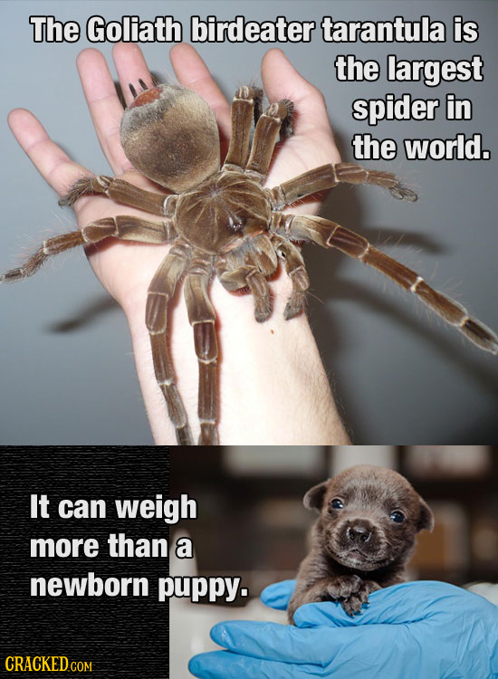 The Goliath birdeater tarantula is the largest spider in the world. It can weigh more than a newborn puppy.