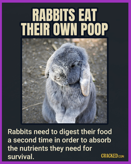 RABBITS EAT THEIR OWN POOP Rabbits need to digest their food a second time in order to absorb the nutrients they need for survival. CRACKEDCOr