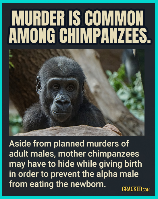 MURDER IS COMMON AMONG CHIMPANZEES. Aside from planned murders of adult males, mother chimpanzees may have to hide while giving birth in order to prev