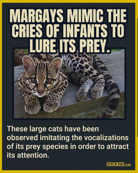 MARGAYS MIMIC THE CRIES OF INFANTS TO LURE ITS PREY. These large cats have been observed imitating the vocalizations of its prey species in order to a