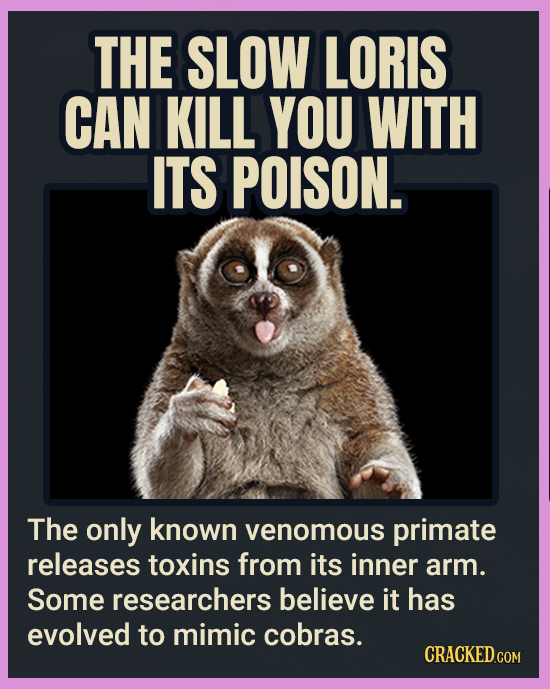 THE SLOW LORIS CAN KILL YOU WITH ITS POISON. The only known venomous primate releases toxins from its inner arm. Some researchers believe it has evolv