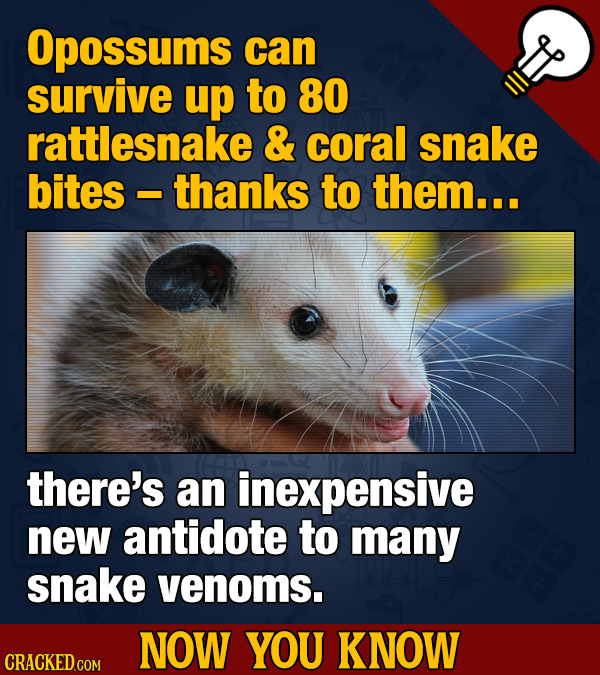 Opossums can survive up to 80 rattlesnake & coral snake bites thanks to them... there's an inexpensive new antidote to many snake venoms. NOW YOU KNOW