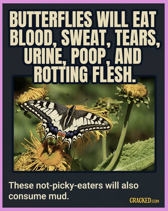 BUTTERFLIES WILL EAT BLOOD, SWEAT, TEARS, URINE, POOP, AND ROTTING FLESH. These not-picky-eaters will also consume mud. CRACKEDCON