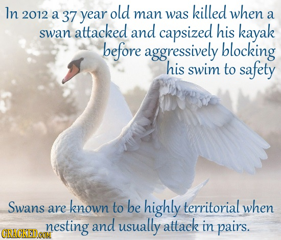 In old killed when 2012 A 37 year man was a attacked and capsized his kayak swan before aggressively blocking his swim to safety Swans known territori