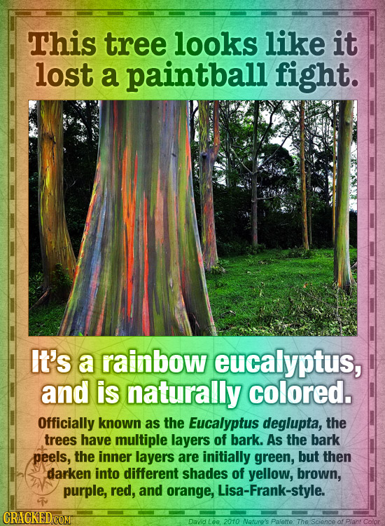 This tree looks like it lost a paintball fight. It's a rainbow eucalyptus, and is naturally colored. Officially known as the Eucalyptus deglupta, the