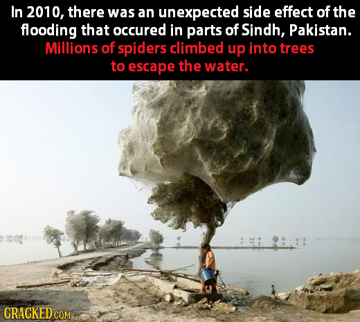In 2010, there was an unexpected side effect of the flooding that occured in parts of Sindh, Pakistan. Millions of spiders climbed up into trees to es