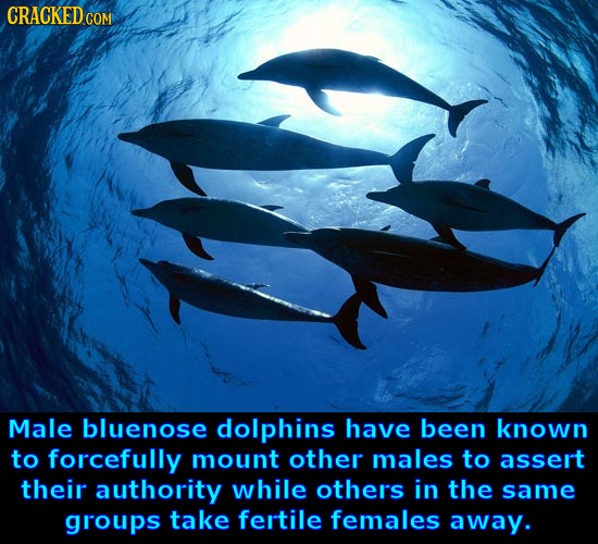 Male bluenose dolphins have been known to forcefully mount other males to assert their authority while others in the same groups take fertile females