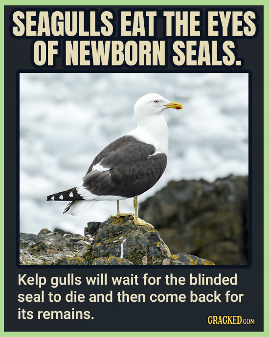 SEAGULLS EAT THE EYES OF NEWBORN SEALS. Kelp gulls will wait for the blinded seal to die and then come back for its remains.