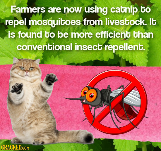 Farmers are now using catnip to repel mosquitoes from livestock. lt is found to be more efficient than conventional insect repellent.