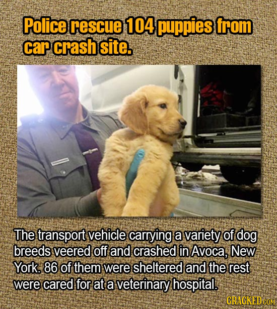 Police rescue 104 puppies from car crash site. The transport vehicle carrying a variety of dog breeds veered off and crashed in Avoca, New York. 86 of