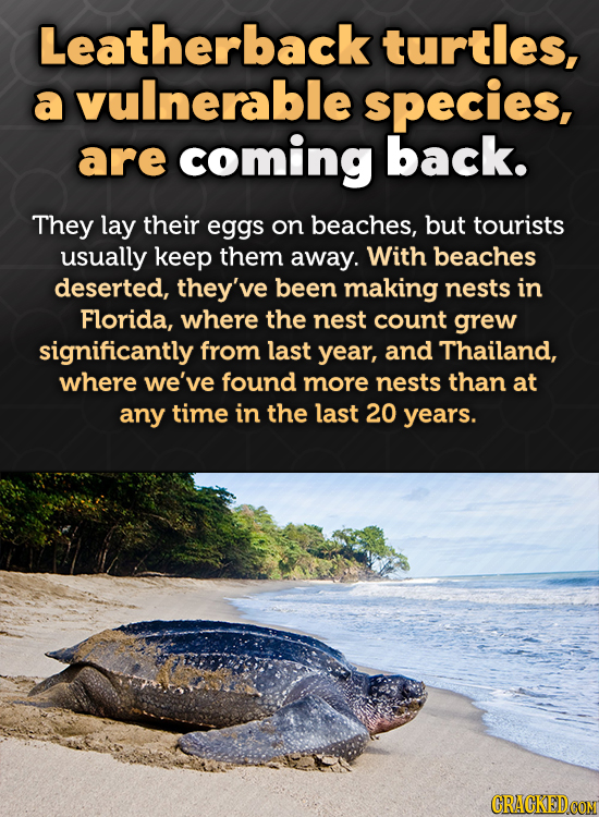 Leatherback turtles, a vulnerable species, are coming back. They lay their eggs on beaches, but tourists usually keep them away. With beaches deserted