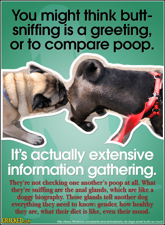 You might think butt- sniffing is a greeting, or to compare poop. It's actually extensive information gathering. They're not checking one another's po