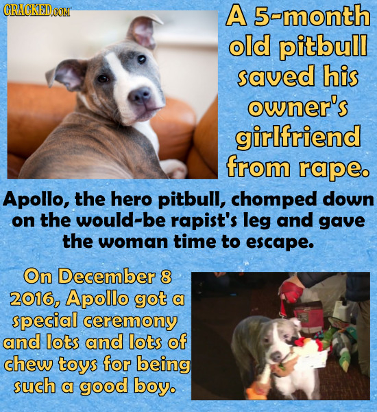 CRACKEDCON A 5-month old pitbull saved his owner's girlfriend from rape Apollo, the hero pitbull, chomped down on the would-be rapist's leg and gave t