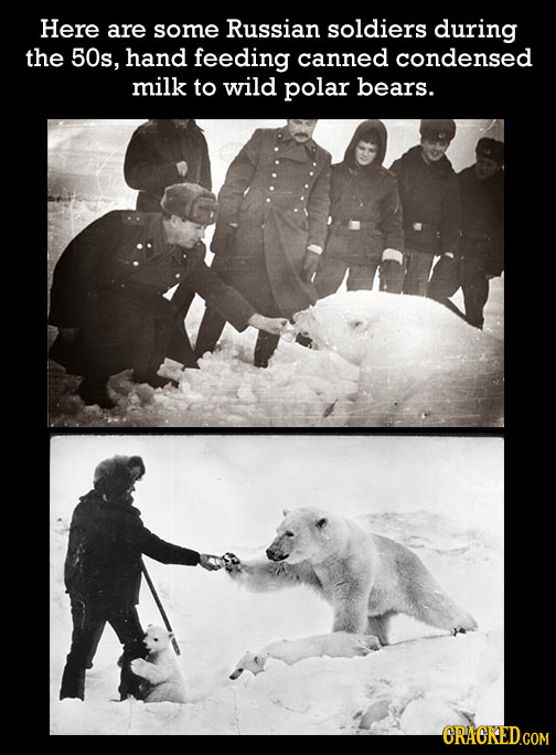 Here are some Russian soldiers during the 50s, hand feeding canned condensed milk to wild polar bears.