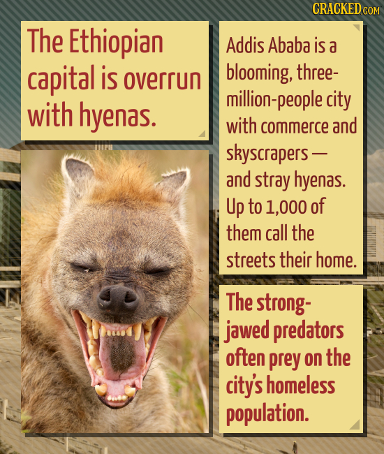 CRACKEDC COM The Ethiopian Addis Ababa is a capital is blooming, three- overrun million-people city with hyenas. with commerce and skyscrapers- and st