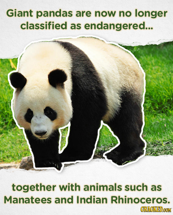 Giant pandas are now no longer classified as endangered... together with animals such as Manatees and Indian Rhinoceros. CRACKED.COM