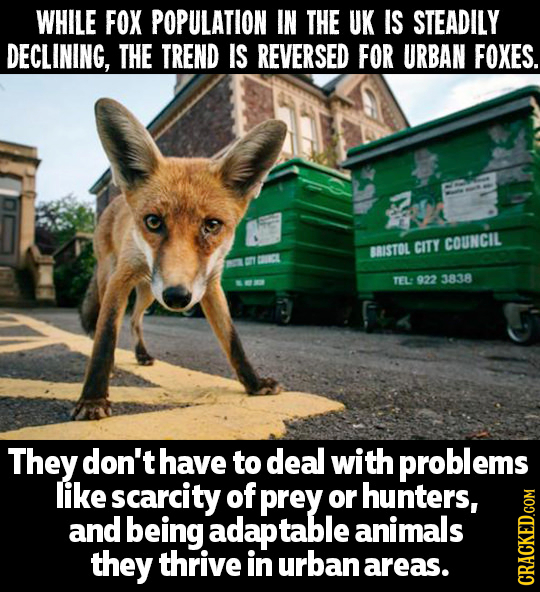 WHILE FOX POPULATION IN THE UK IS STEADILY DECLINING, THE TREND IS REVERSED FOR URBAN FOXES. CITY COUNCIL BRISTOL TEL: 922 3838 They don't have to dea