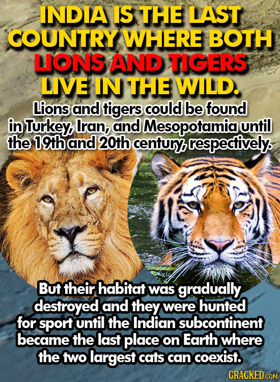 INDIA IS THE LAST COUNTRY WHERE BOTH LIONS AND TIGERS LIVE IN THE WILD. Lions and tigers could be found in Turkey Iran, and Mesopotamia unfil the 19th