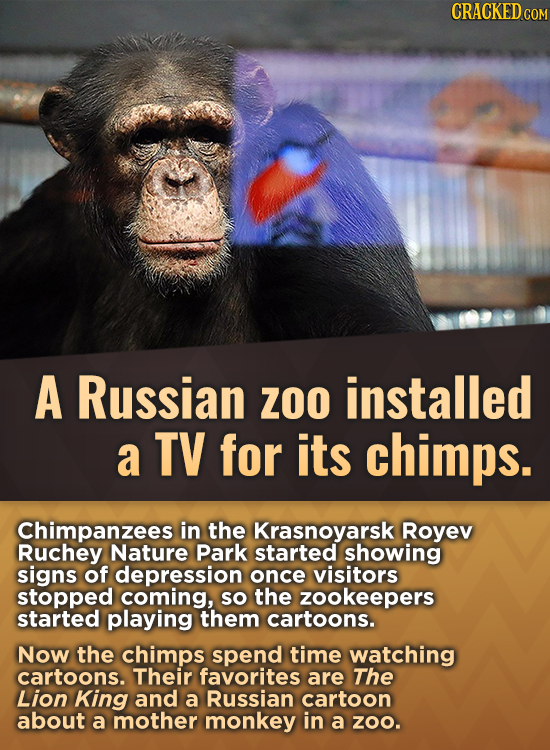 CRACKEDcO A Russian ZOO installed a TV for its chimps. Chimpanzees in the Krasnoyarsk Royev Ruchey Nature Park started showing signs of depression onc