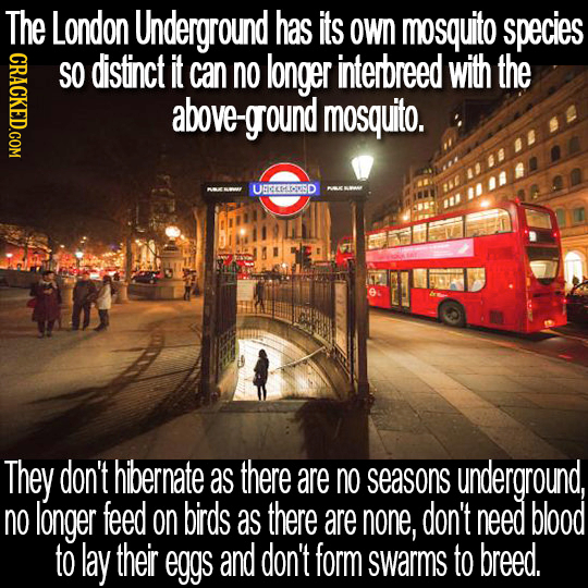 The London Underground has its Own mosquito species GRAC SO distinct it can no longer interbreed with the above-ground mosquito. UCEMISD They don't hi