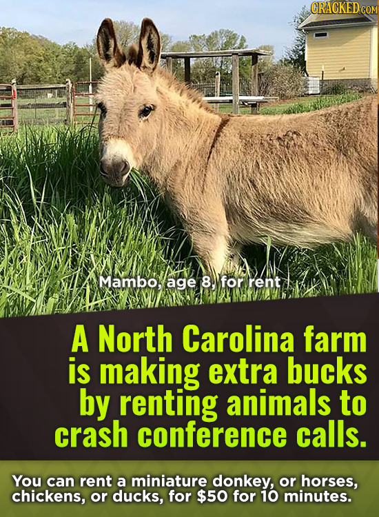 CRACKED COM Mambo, age 8. for rent A North Carolina farm is making extra bucks by renting animals to crash conference calls. You can rent a miniature