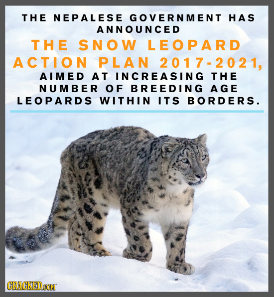 THE NEPALESE GOVERNMENT HAS ANNOUNCED THE SNOW LEOPARD ACTION PLAN 2017-2021, AIMED AT INCREASING THE NUMBER OF BREEDING AGE LEOPARDS WITHIN ITS BORDE