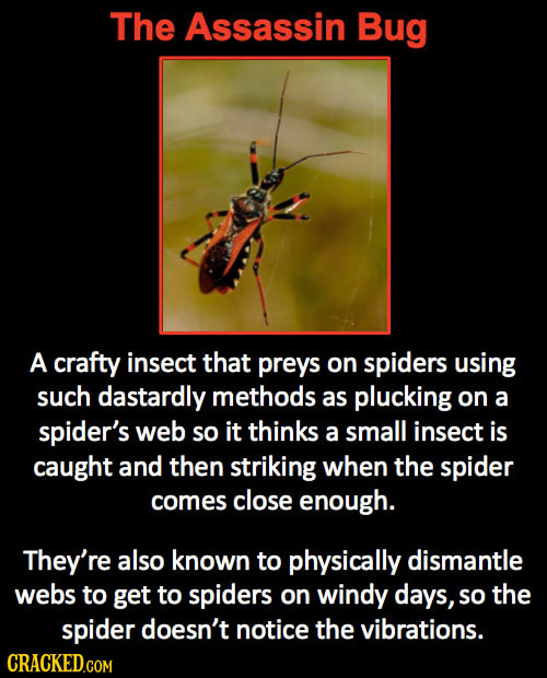 The Assassin Bug A crafty insect that preys on spiders using such dastardly methods as plucking on a spider's web so it thinks a small insect is caugh