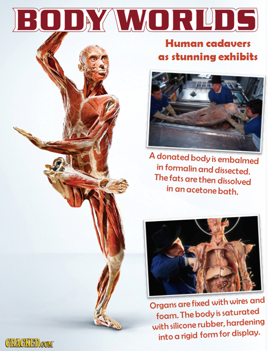 BODY WORLDS Human cadavers as stunning exhibits A donated body is embalmed in formalin and dissected. The fats are then dissolved in an acetone bath.