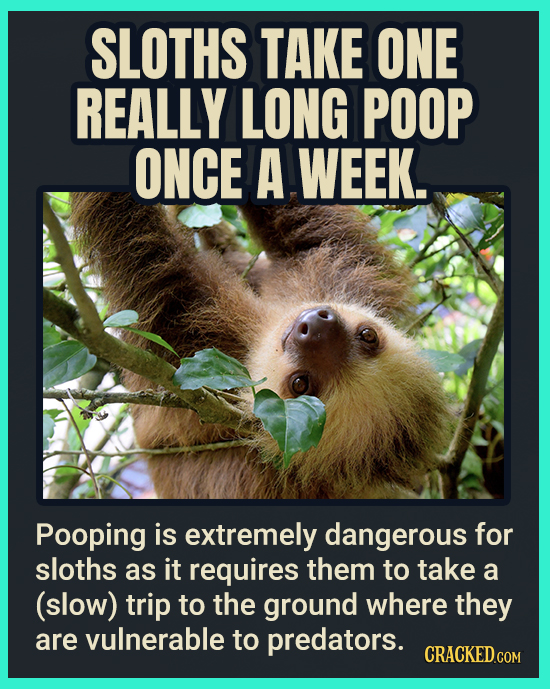 SLOTHS TAKE ONE REALLY LONG POOP ONCE A WEEK. Pooping is extremely dangerous for sloths as it requires them to take a (slow) trip to the ground where