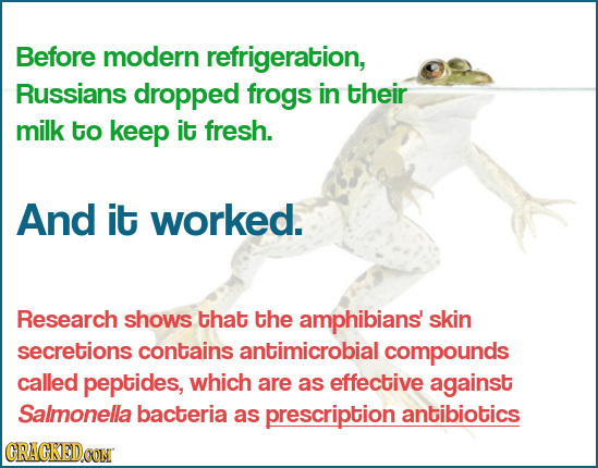 Before modern refrigeration, Russians dropped frogs in their milk to keep it fresh. And it worked. Research shows that the amphibians skin secretions