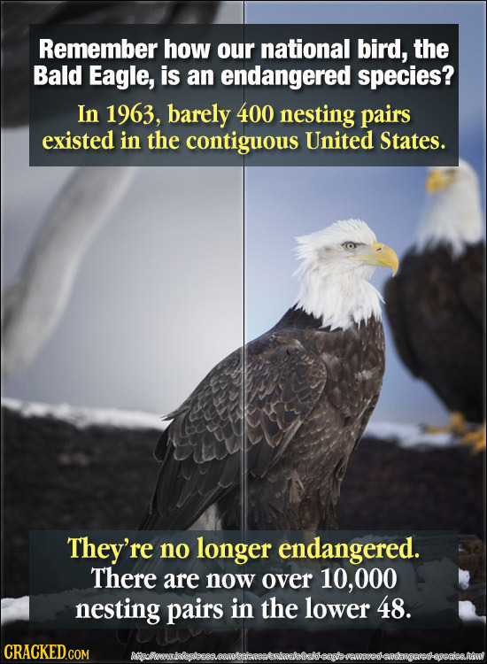 Remember how our national bird, the Bald Eagle, is an endangered species? In 1963, barely 400 nesting pairs existed in the contiguous United States. T