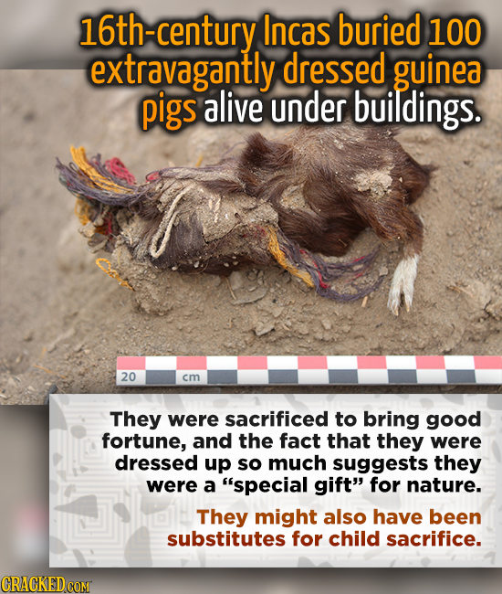 -century Incas buried 100 extravagantly dressed guinea pigs alive under buildings. 20 cm They were sacrificed to bring good fortune, and the fact that