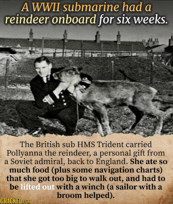 A WWII submarine had a reindeer onboard for six weeks. The British sub HMS Trident carried Pollyanna the reindeer, a personal gift from a Soviet admir