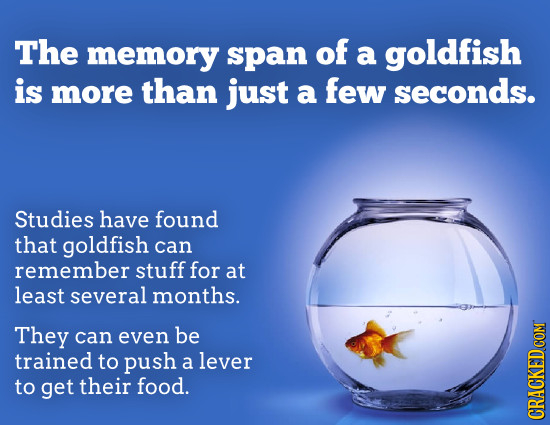 The memory span of a goldfish is more than just a few seconds. Studies have found that goldfish can remember stuff for at least several months. They c