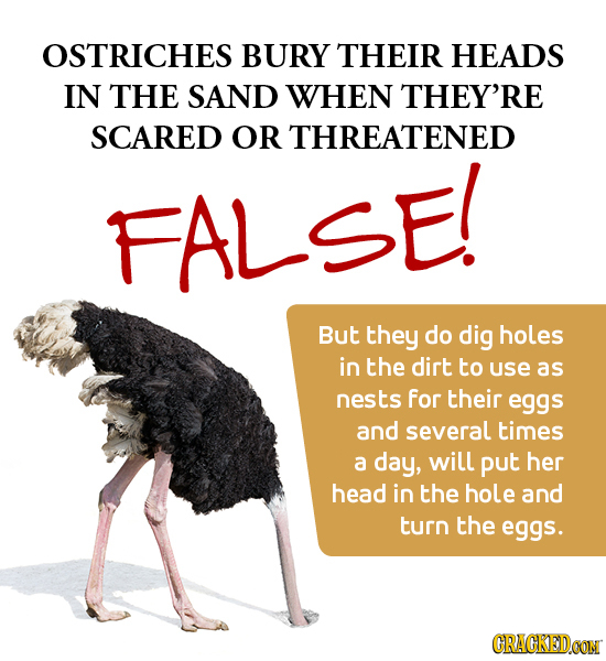 OSTRICHES BURY THEIR HEADS IN THE SAND WHEN THEY'RE SCARED OR THREATENED FALSE! But they do dig holes in the dirt to use as nests for their eggs and s