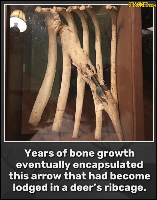 -GRACKED-COM L Years of bone growth eventually encapsulated this arrow that had become lodged in a deer's ribcage.