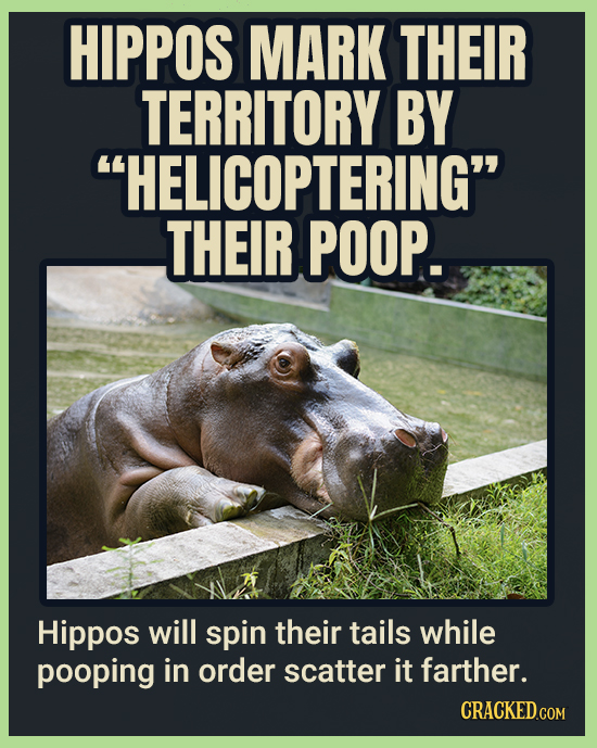 HIPPOS MARK THEIR TERRITORY BY HELICOPTERING THEIR POOP. Hippos will spin their tails while pooping in order scatter it farther.