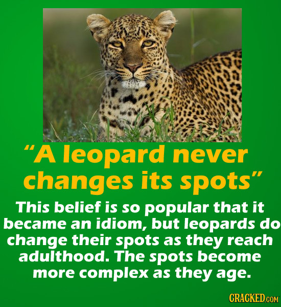 A leopard never changes its spots This belief is SO popular that it became an idiom, but leopards do change their spots as they reach adulthood. The