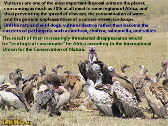 Vultures are one of the most important disposal units on the planet, consuming as much as 70% of all meat in sorne regions of Africa, and thus prevent